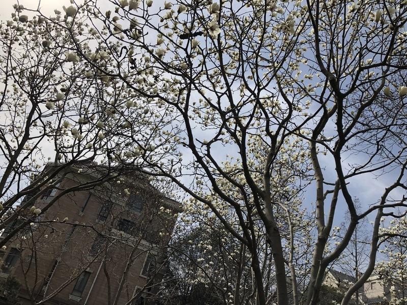 shanghai magnolia tree