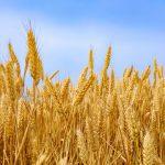 芒种金色麦穗